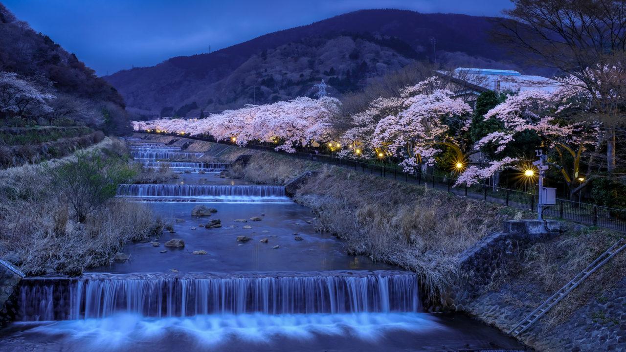 宮城野の桜